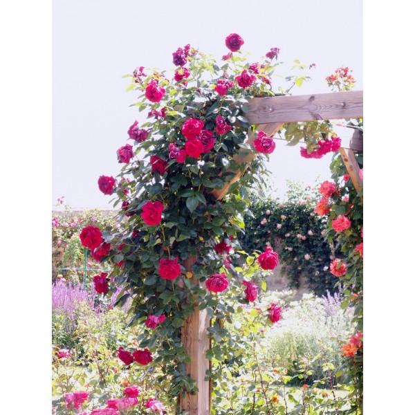 Rosier le grand huit grimpant la bonne graine - A quel moment tailler les rosiers ...