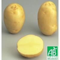 Pomme de terre Apollo BIO