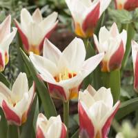 Tulipe Ancilla