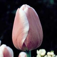 Tulipe Dreaming Maid