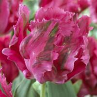 Tulipe Fantasy