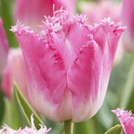 Tulipe Fancy Frills