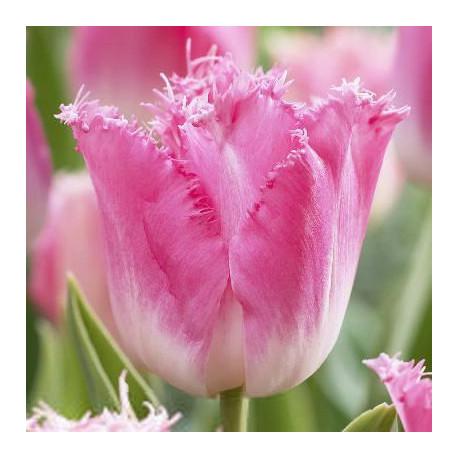 Tulipe Fancy Frills