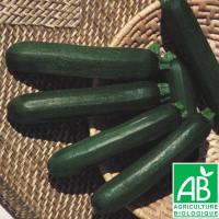 Courgette Verte Noire Maraîchère Bio