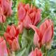Tulipe Toronto