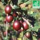 Plant de groseillier Freedonia Bio