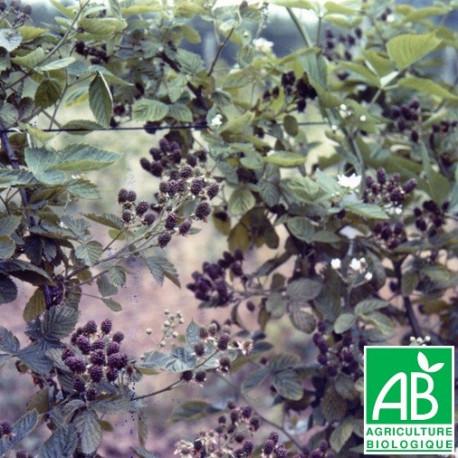 Plant de mûrier Thornfree Bio