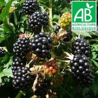 Plant de mûrier Thornless Evergreen Bio