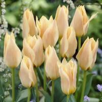 Tulipe Für Elise