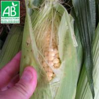Maïs doux Golden Bantam Bio
