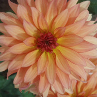 Dahlia Autumn Fairy