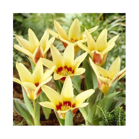 Tulipe Corona