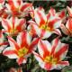 Tulipe Coors