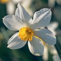 Narcisse White Lady