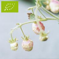 Plant de fraisier musqué Bio Capron Royal (godet)
