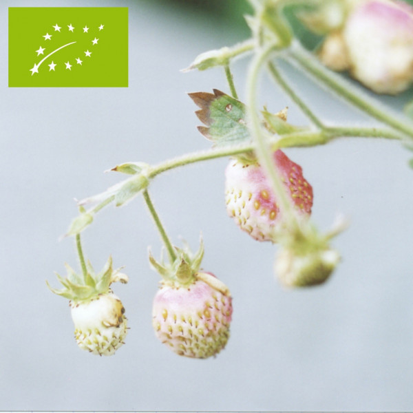plant de fraisier musqu bio capron royal godet la. Black Bedroom Furniture Sets. Home Design Ideas