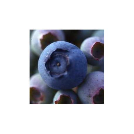 Plant de Myrtillier Dixi Bio