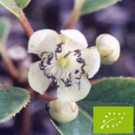Kiwaï femelle à fruits verts longs