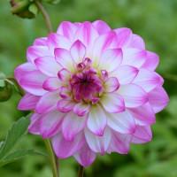 Dahlia Pink Attraction