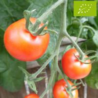 Tomate Miel du Mexique Bio