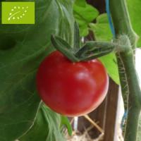 Tomate Zuckertraube Bio