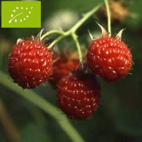 Plant de framboisier September Bio