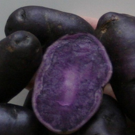 Pomme de terre Bergerac