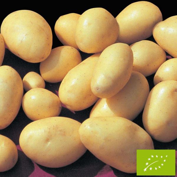 Pomme de terre corne de gatte bio la bonne graine - Ramassage pomme de terre ...