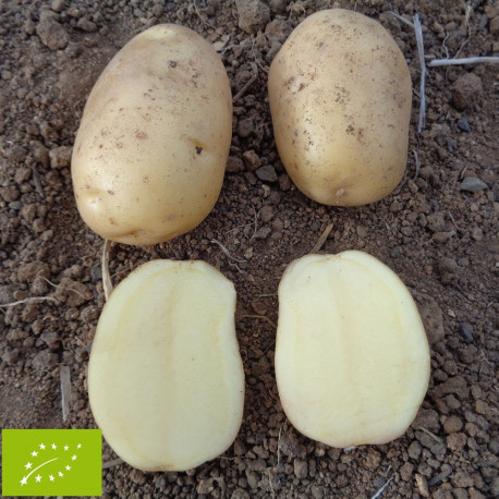 Pomme de terre Agata BIO