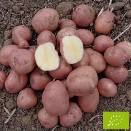 Pomme de terre Dalida BIO