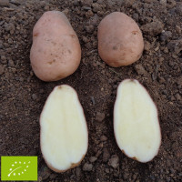 Pomme de terre Désirée BIO