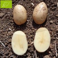 Pomme de terre Spunta BIO