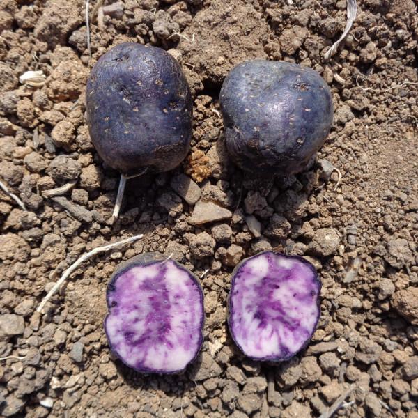 Pomme de terre vitelotte la bonne graine - Tableau pomme de terre varietes ...