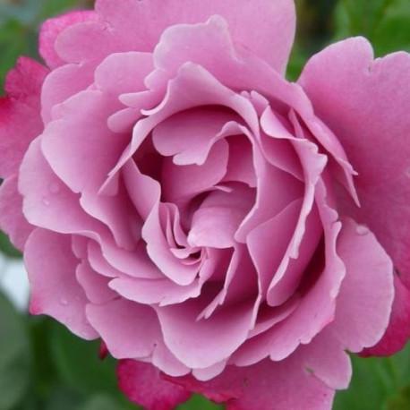 Rosier Muriel Robin ®