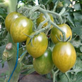 Tomate Green Envy
