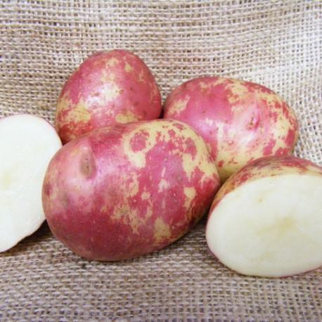 Pomme de terre Red King Edward