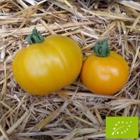 Tomate Yellow Giant Belgium Bio