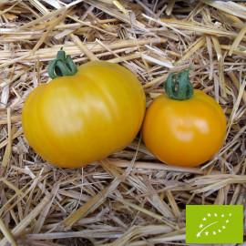 Tomate Yellow Giant Belgium Bio