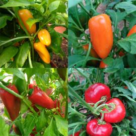 """Pack """"snack-pepper"""" : des mini-poivrons pour l'apéritif !"""