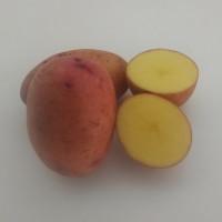 Pomme de terre Primarosa