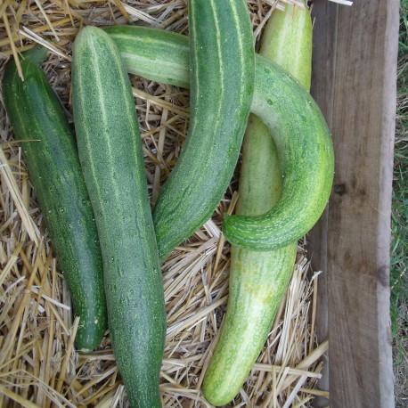 Concombre Vert long de Chine