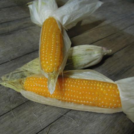 Maïs doux Minigold