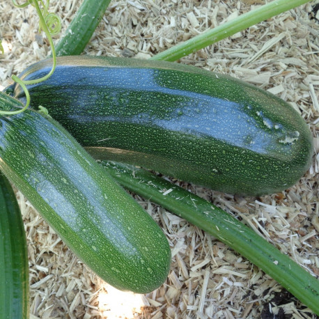 Courgette Black Forest F1
