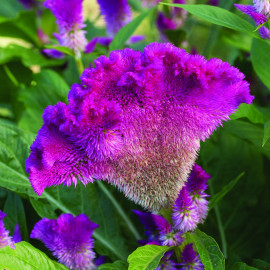 Celosia 'Fan Dance Purple'