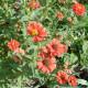 Zinnia 'Andes Jewel'