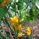 Piment Orange Pepperoncini