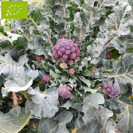 Chou brocoli violet 'Early Purple Sprouting' Bio