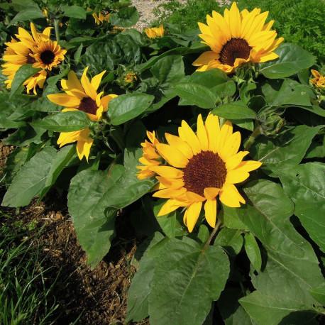 Helianthus (tournesol) 'Sunray Yellow' F1