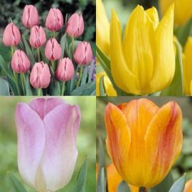 Assortiment de tulipes simples hâtives