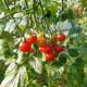 Tomate Cherry Baby F1